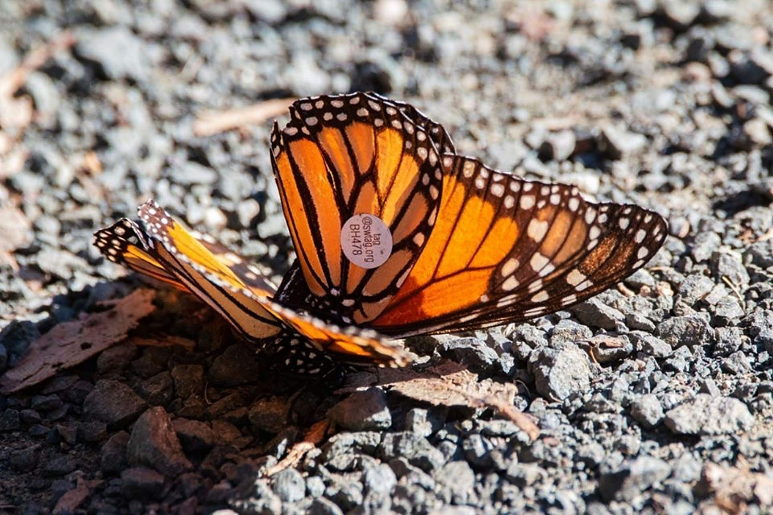 Butterfly expert wants to help Parkites use milkweed to save the migrating monarchs
